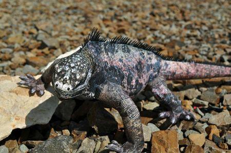 [KONKURS]- Marine iguana