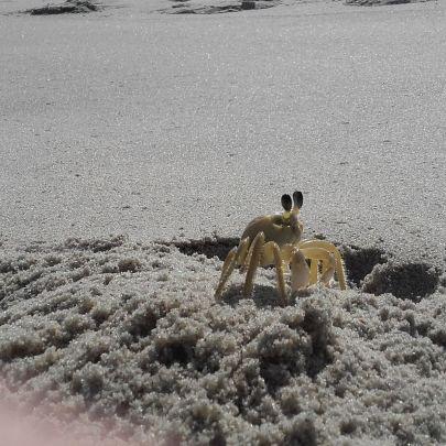 krab cirik - Brazylia